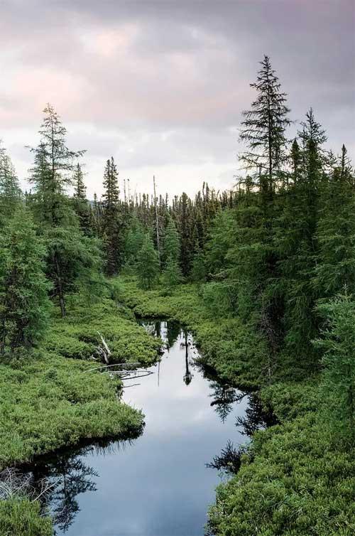 Rừng phương bắc (boreal forest).