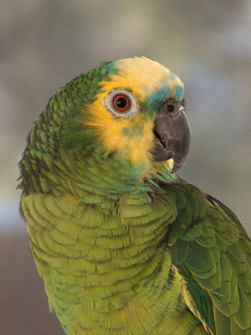 Vẹt Blue-fronted Amazon
