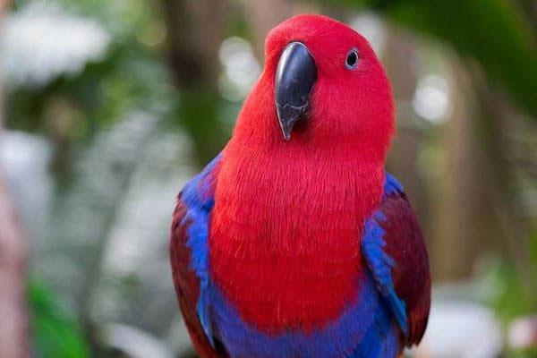 Vẹt Eclectus Parrot