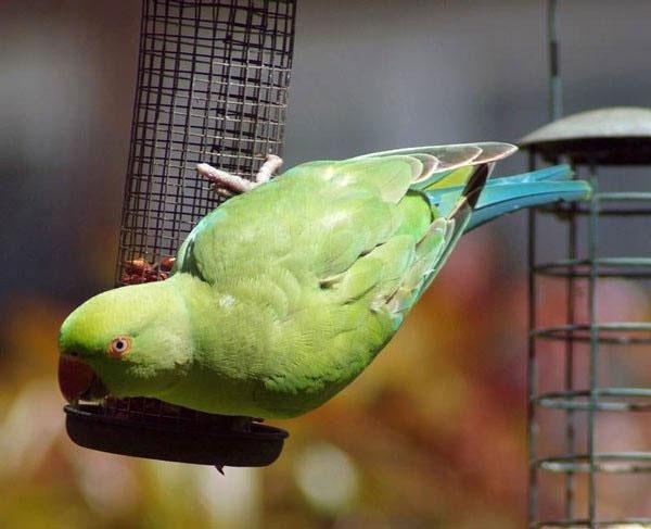 Vẹt Indian Ring Parakeet
