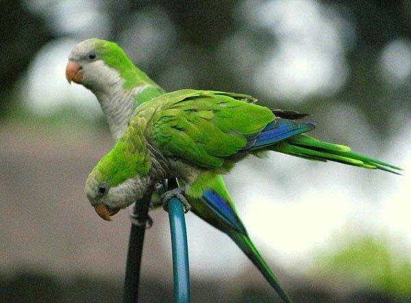 Vẹt Monk Parakeet