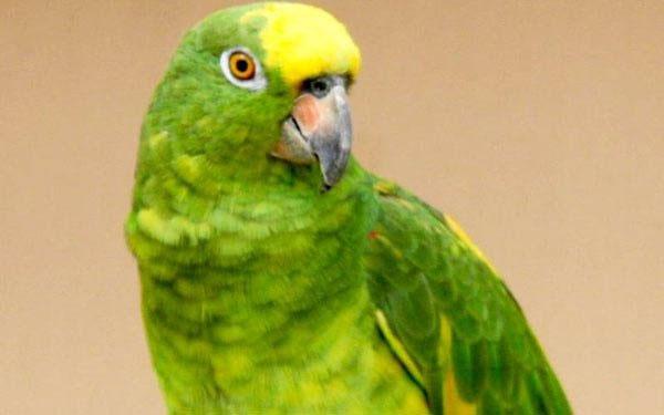 Vẹt Yellow-crowned Amazon