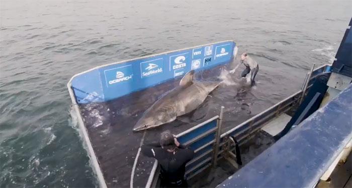 Con cá mập này nặng hơn 1.587kg.