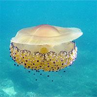 """Loài sứa """"ngon mắt"""" nhất đại dương, nhìn hệt như quả trứng"""