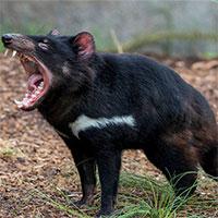 Lần đầu tiên sau 3000 năm biến mất, quỷ Tasmania quay trở lại lục địa Australia