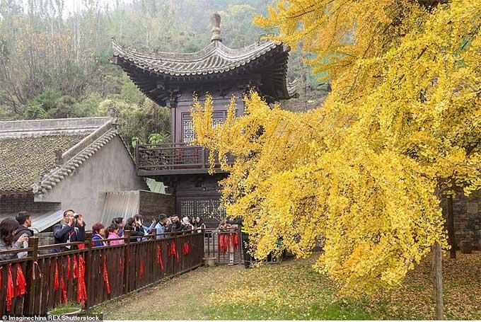 Du khách đến vãn cảnh chùa thường tranh thủ check-in bên cây nghìn tuổi.