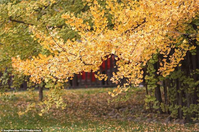 Loài cây này khoe sắc đẹp nhất vào mùa thu, khi lá chuyển vàng rực rỡ.