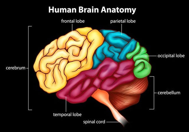 Vỏ não là lớp có nhiều nếp nhăn bao phủ bộ não.