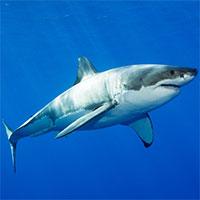 Vì sao cá mập gia tăng hành vi bất thường ở vùng biển Australia?