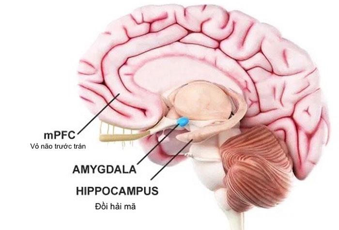 """Cấu trúc chính trong bộ não đảm nhiệm lưu trữ ký ức là """"đồi hải mã""""."""