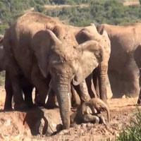 """Cả đàn voi """"bàn bạc"""", tìm cách cứu voi con dưới hố bùn"""
