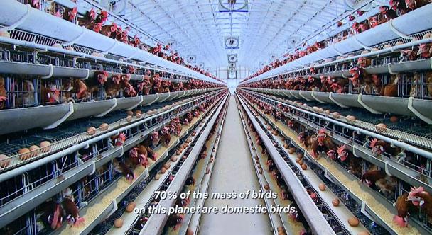 70% số lượng chim trên trái đất là gia cầm, phần lớn là gà