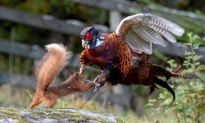 Sóc đỏ nhào tới tấn công gà lôi.