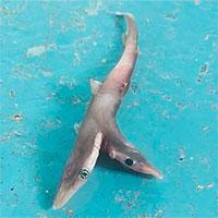 Cá mập hai đầu cực hiếm sa lưới ngư dân