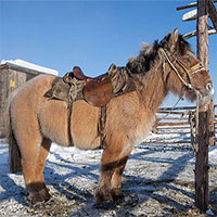 Loài ngựa huyền thoại sống ở nơi nhiệt độ tới âm 70 độ C