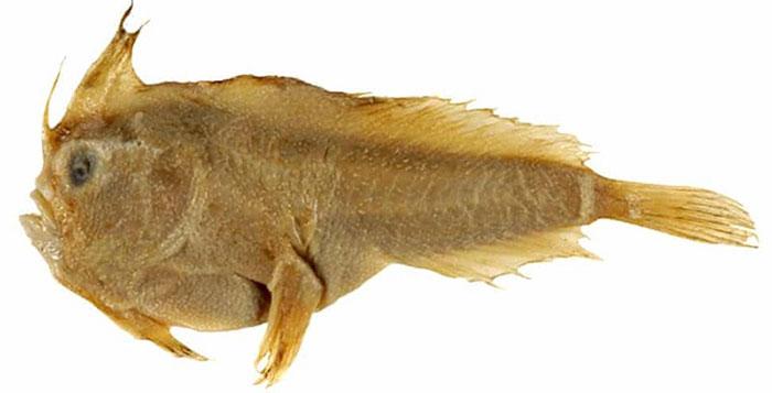 Mẫu vật cá tay trơn duy nhất con người có được từ năm 1802.