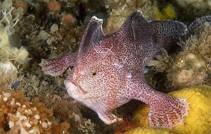 Cá tay trơn – loài cá đầu tiên tuyệt chủng trong thời hiện đại.