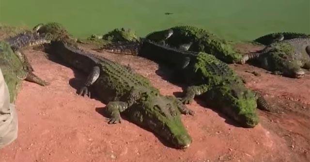 """Clip: Cá sấu hung hăng cắn đứt tay """"bạn cùng lớp"""" vì tưởng thức ăn"""