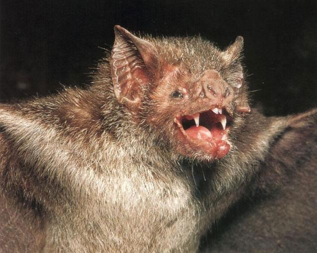 Dơi quỷ - vampire bat.