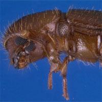 """Loài bọ cánh cứng kỳ lạ biết """"làm nông nghiệp"""""""