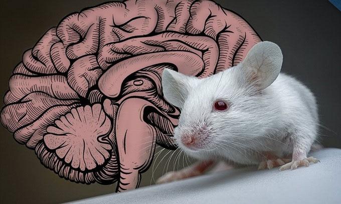Ánh sáng laser kích hoạt tế bào trong não chuột nhắt.