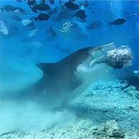 Video:Rùng mình cảnh cá mập háu đói xé toạc đầu cá buồm