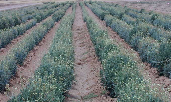 Một vườn cúc cao su trồng để chiết xuất mủ ở Mỹ.