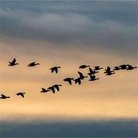 Vì sao loài ngỗng biết cách bay về phương nam trong mùa đông?