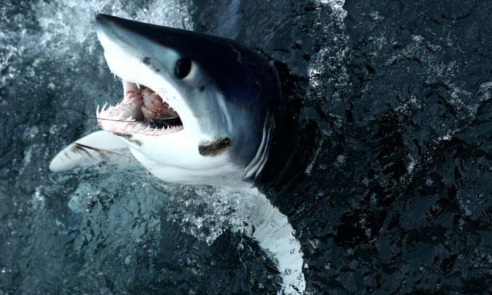 Một con cá mập mako vây ngắn bị mắc câu trong một giải đấu câu cá ở Massachusetts, Mỹ.