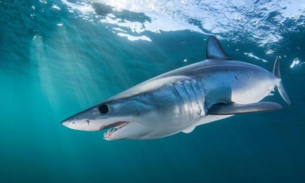 Số lượng cá mập mako vây ngắn đang suy giảm đến mức báo động.