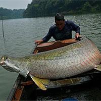 """""""Thủy quái"""" vùng Amazon hồi sinh trong tự nhiên"""