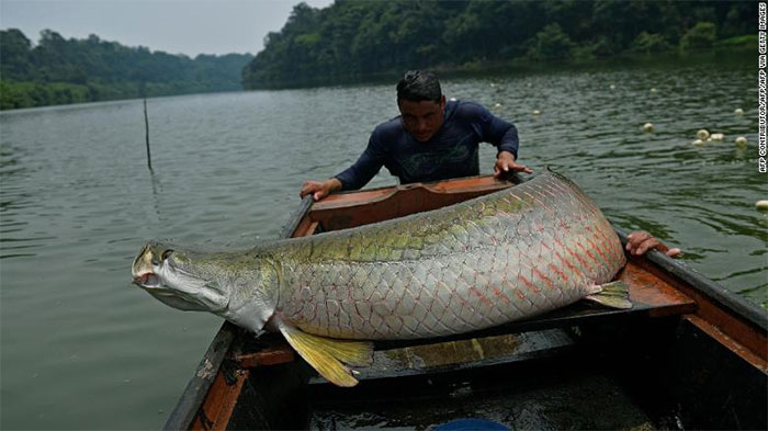 Ngư dân chất một con cá hải tượng lên thuyền ở vùng Tây Amazon