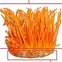 Cách hiểu khoa học về nấm Đông trùng hạ thảo