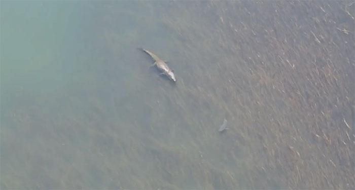Cá mập quyết định đổi hướng và bơi đi xa khi thấy con cá sấu khổng lồ bơi trước mặt.