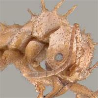 """Loài kiến kỳ lạ có lớp """"áo giáp sinh học"""" chưa từng thấy ở côn trùng"""