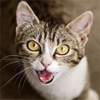 Tại sao mèo lại kêu meo meo?