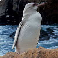 Phát hiện chim cánh cụt trắng đầu tiên ở Galapagos