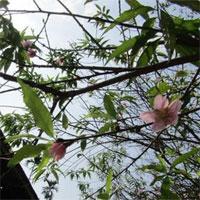 Vì sao hoa đào nở giữa mùa thu?