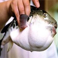 Cá nóc là gì và tại sao chúng có độc gây chết người?