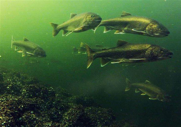 Quần thể cá khổng lồ sinh sống trong lòng hồ Yamdrok