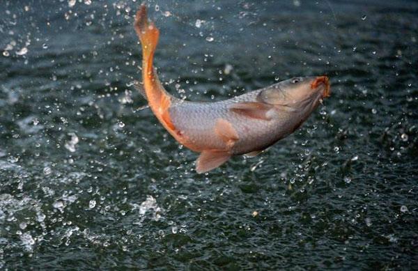 Cá được coi là hiện thân của thủy thần tại Tây Tạng