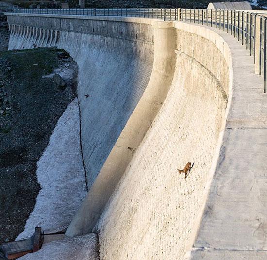 Khả năng leo lên cả những bức tường thẳng đứng khiến loài dê này nổi tiếng khắp thế giới.