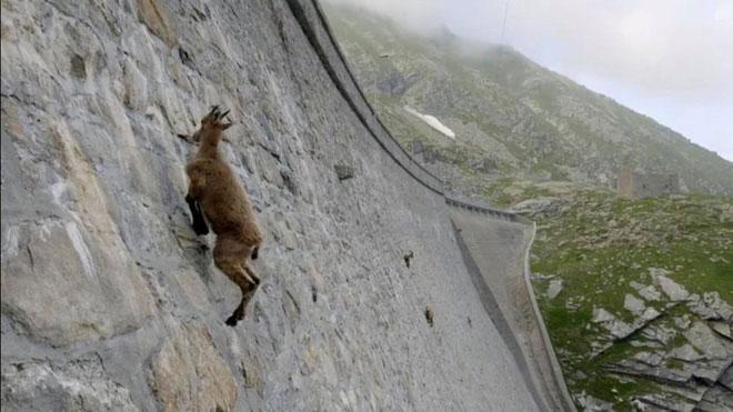 Chúng không tỏ vẻ sợ hãi trước mặt tường dốc đứng