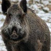 Video: Thổ dân châu Phi dùng khỉ bắt lợn rừng cực bá đạo