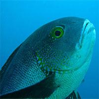 """Phát hiện """"cụ"""" cá thọ nhất thế giới: 81 tuổi"""