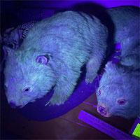 Phát hiện một số loài động vật phát sáng dưới tia UV