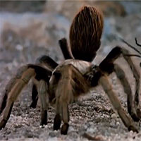 Video: Nhện Tarantula khổng lồ quằn quại ví cú chích đau... thấu trời chỉ sau kiến đạn