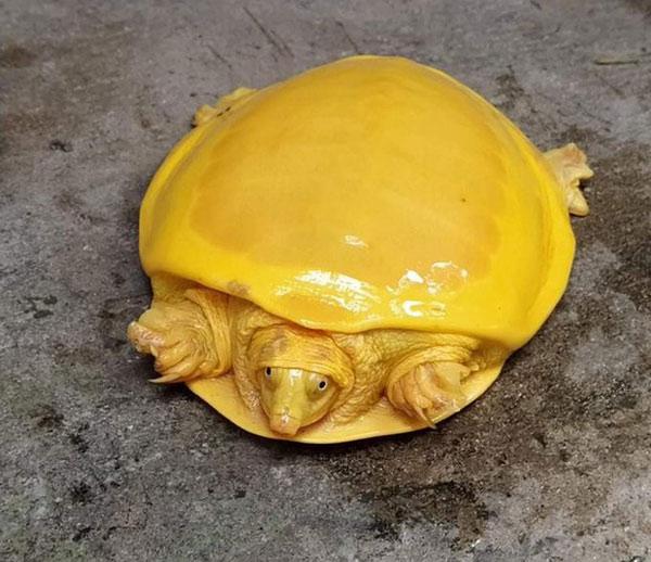 Cá thể rùa vàng mới được phát hiện ở Ấn Độ