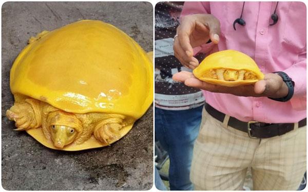 Màu sắc kỳ lạ mà con rùa có là một hiện tượng đột biến