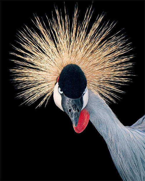 Chim Grey Crowned Crane